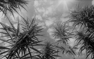EU market for medical cannabis still far from full bloom – Professor Trevor Jones CBE comments